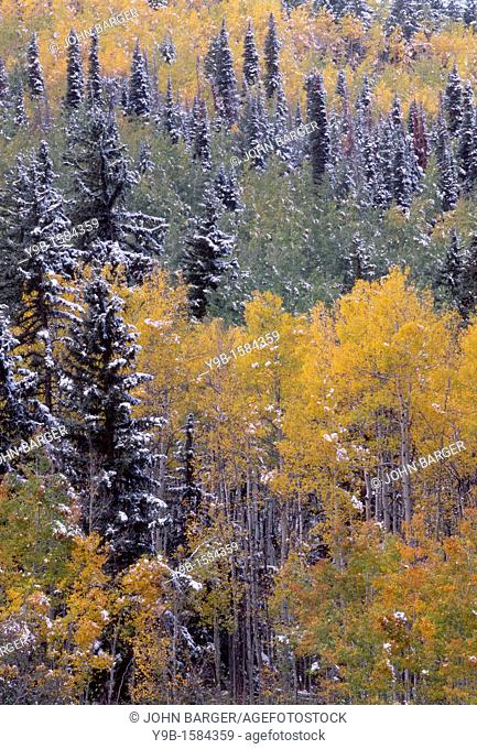Snowfall adds accent to autumn colored aspen and spruce forest, Sneffels Range, Uncompahgre National Forest, southwest Colorado, USA