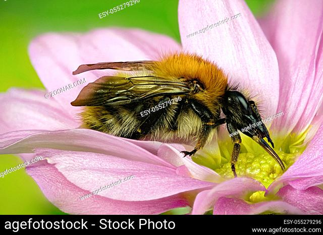 focus stacked image of bombus pascuorum [bumble bee] common carder all of insect is in focus