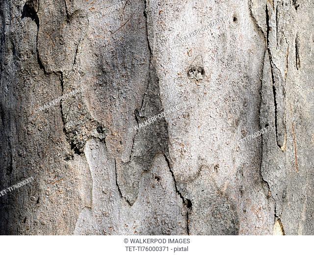 Bark of eucalyptus (Eucalyptus)