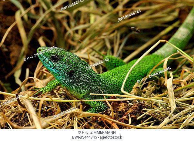 Western Green Lizard, European Green Lizard (Lacerta bilineata, Lacerta viridis bilineata), on withered plants, Germany, Rhineland-Palatinate