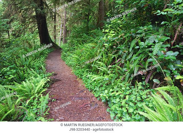 Trail (footpath) through trees and lush greenery at Quinault Rainforest. Quinault Rainforest, Olympic Peninsula, Olympic National Park, Washington State