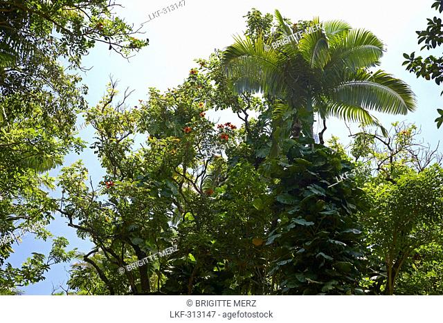 Low angle view at trees at tropical forest, Big Island, Hawaii, USA, America