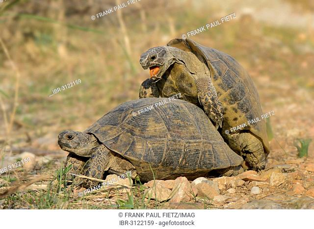 Pairing of two Spur-thighed Tortoises (Testudo graeca)