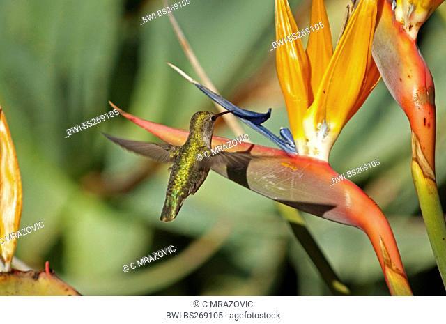 crane flower, bird of paradise flower, geel piesang Strelitzia reginae, hummingbird feeding from a bird-of-paradise flower, USA, California