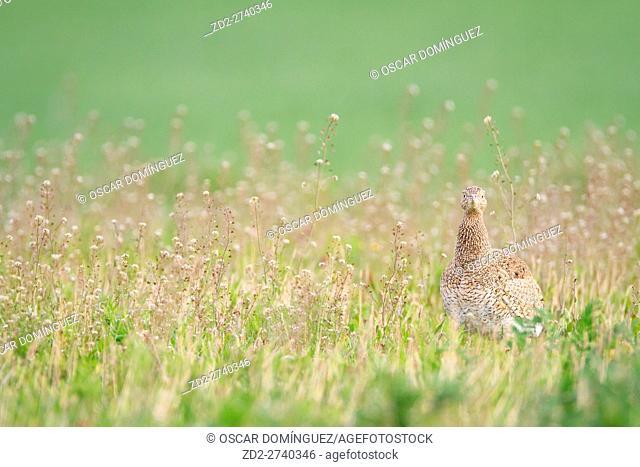 Little Bustard (Tetrax tetrax) female on habitat. Lleida province. Catalonia. Spain