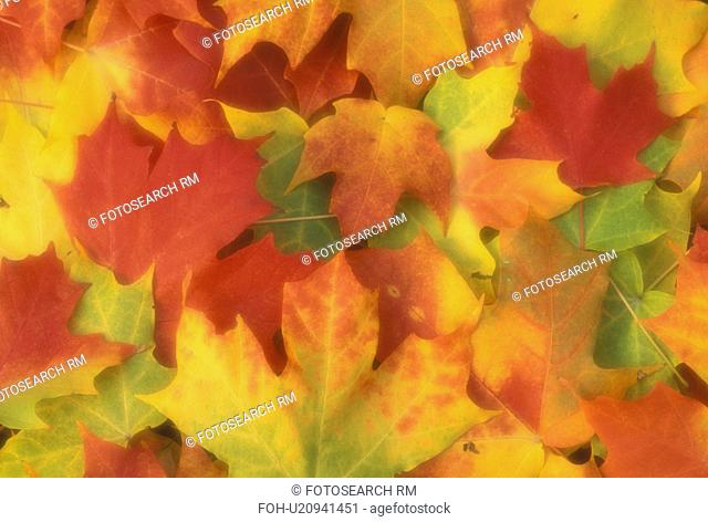 maple leaves, close-up, fall, Vermont, A cluster of colorful maple leaves (red, orange, green, yellow)