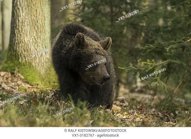 European Brown Bear ( Ursus arctos ), strolling through the forest, comes close, watches aside, seems to be curious, Europe