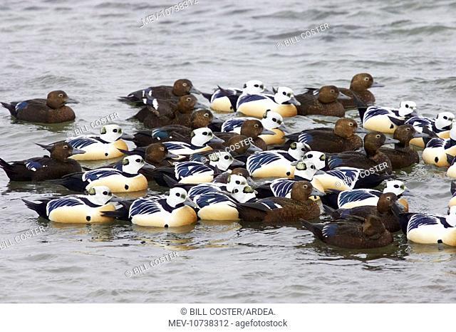 Steller's Eider - tightly packed winter flock (Polysticta stelleri)