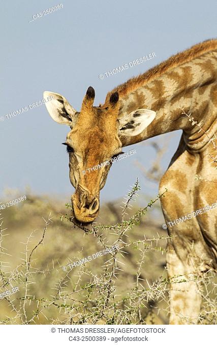 Southern Giraffe (Giraffa camelopardalis giraffa) - Female, feeding on a Water-thorn acacia (Acacia nebrownii). The thorns do not harm her