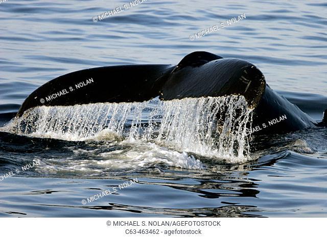 Adult Humpback Whale (Megaptera novaeangliae) fluke-up dive in Southeast Alaska, USA
