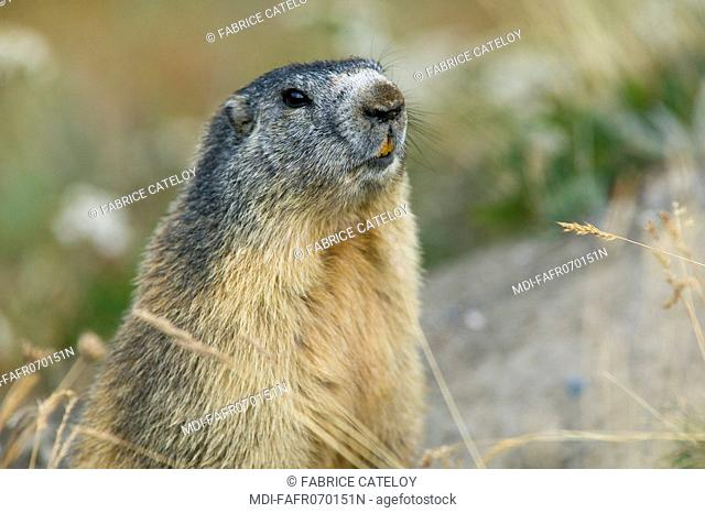 Head of a marmot in the natural regional park of Queyras