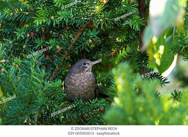 Female blackbird (Turdus merula) in hiding