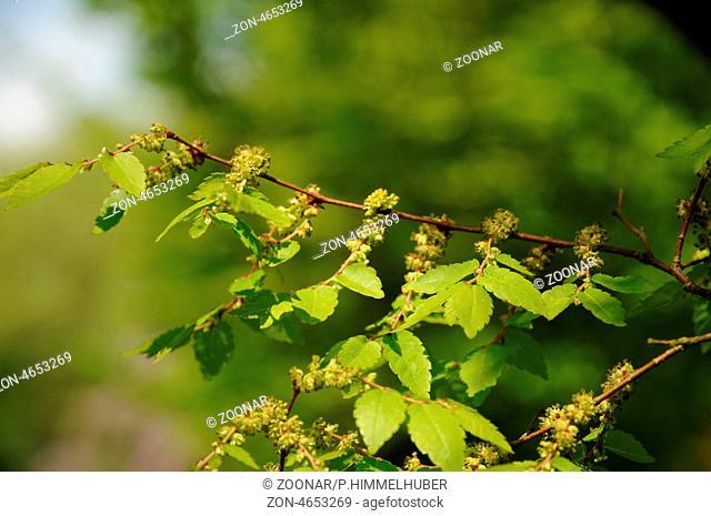 blühender Zweig und Blattaustrieb