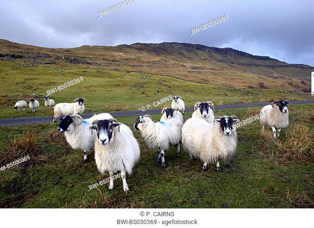 domestic sheep (Ovis ammon f. aries), in scottish highlands, United Kingdom, Scotland, Isle of Mull