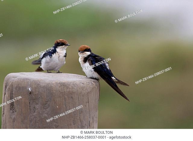 Wire-tailed swallow Hirundo smithii smithii Amboseli National Park Kenya