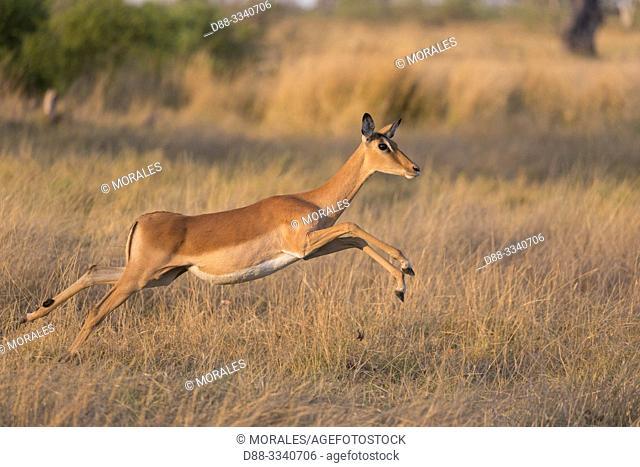 Africa, Southern Africa, Bostwana, Moremi National Park, Impala (Aepyceros melampus), adult female