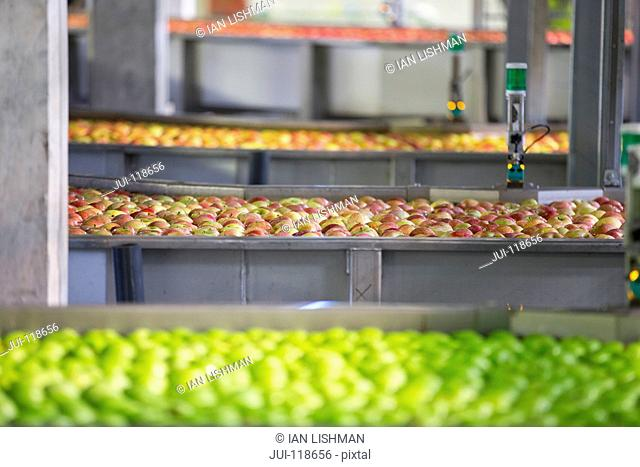 Apples Being Washed And Graded In Fruit Processing Plant
