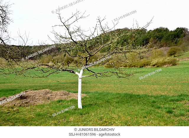 Whitewashed fruit tree stems, protection against frost