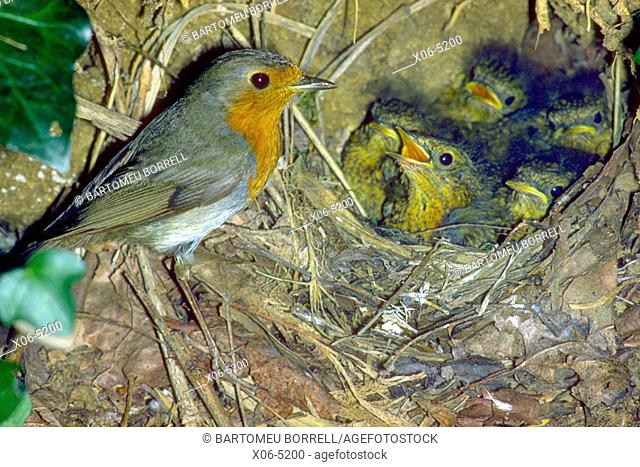 European Robin (Erithacus rubecula) Adult at nest with chicks