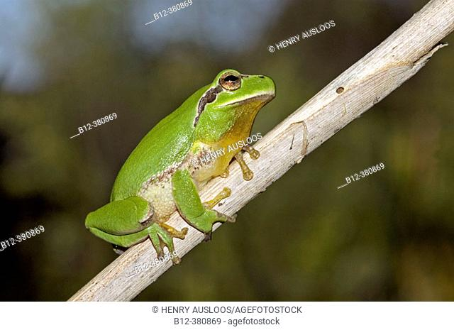 Stripeless Tree frog (Hyla meridionalis). Southern France