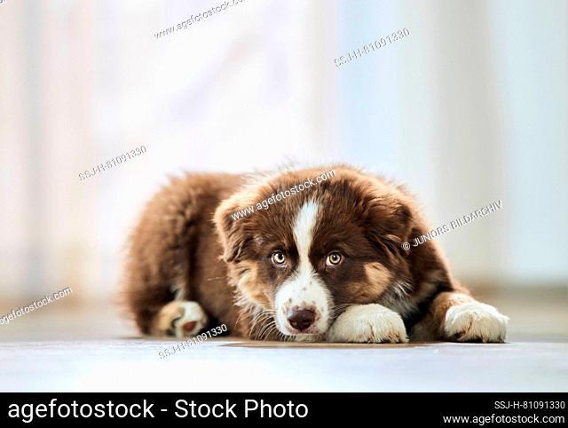 Australian Shepherd. Puppy lying on a wooden floor. Germany