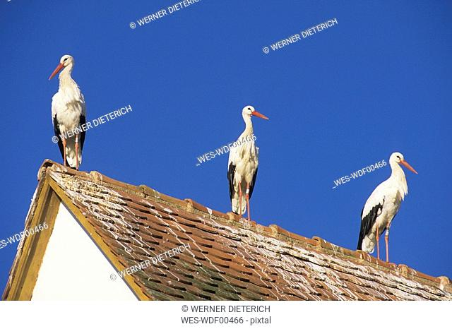France, Elsace, Three storks on rooftop