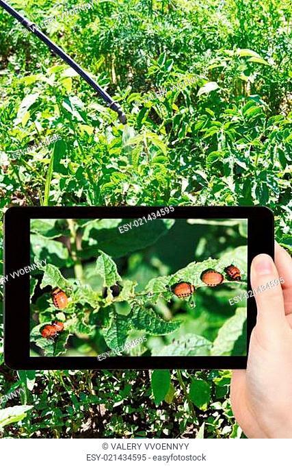 man taking photo of insecting colorado potato bug