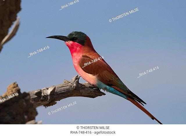 Carmine bee-eater, Merops nubicus, Chobe River, Chobe National Park, Botswana, Africa