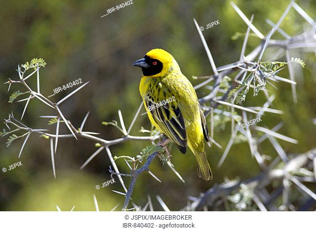 Southern Masked-Weaver or African Masked-weaver (Ploceus velatus) adult perched on an Acacia tree branch, Karoo, South Africa