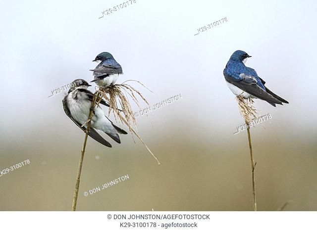 American tree sparrow (Spizella arborea), Anahuac NWR, Texas, USA