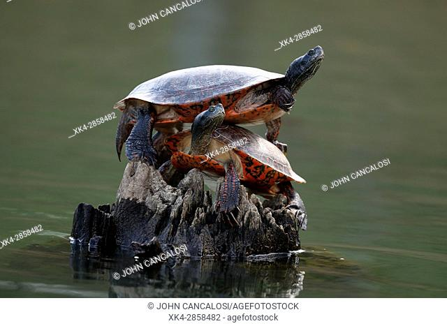 """northern red-bellied turtles (Pseudemys rubriventris), Maryland, basking, IUCN redlist """"""""near threatened"""""""" species, also known as red-bellied cooter"""