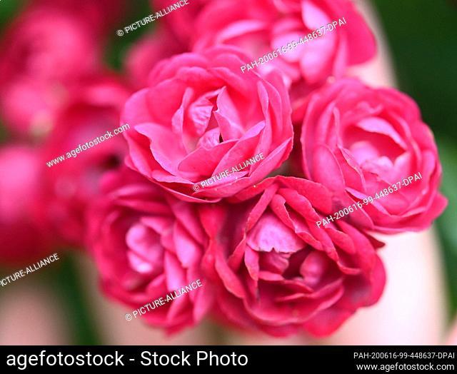"16 June 2020, Baden-Wuerttemberg, Baden-Baden: The climbing rose """"Perennial Red Domino"""" is shown in the rose novelty garden on Beutig"