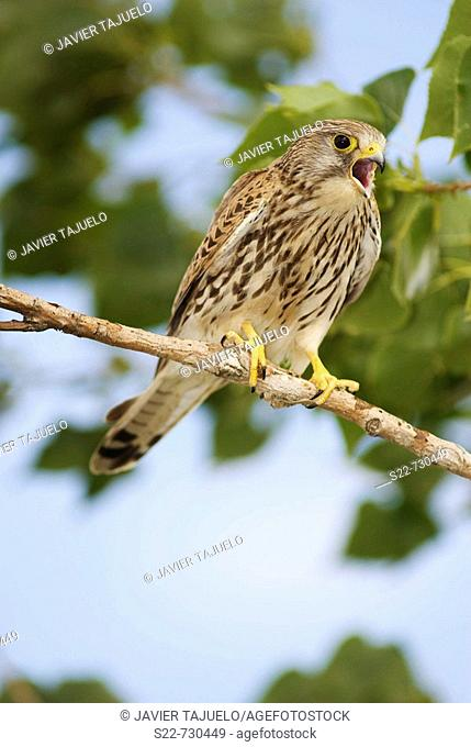 Kestrel (Falco tinnunculus), female