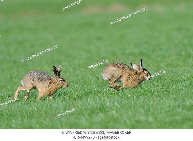 European hares (Lepus europaeus), persecution, Texel Island, The Netherlands