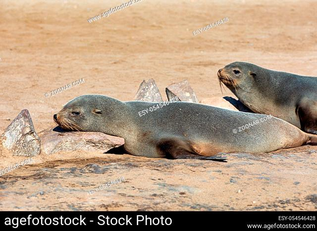 resting animal, brown fur seal in Cape Cross, Namibia safari wildlife
