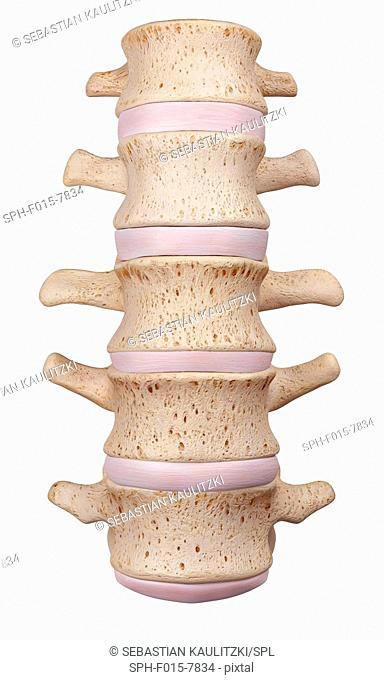 Human lumbar spine, illustration