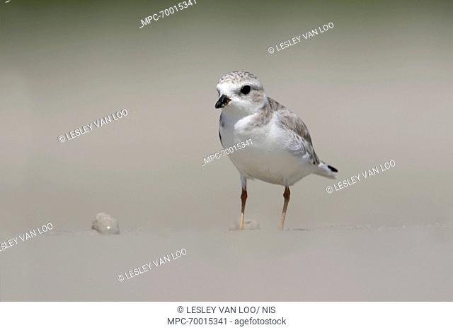 Piping Plover (Charadrius melodus) on beach, Florida