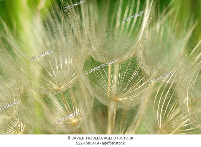 Tragopogon pratensis, Meadow Salsify, Cabruna Barba