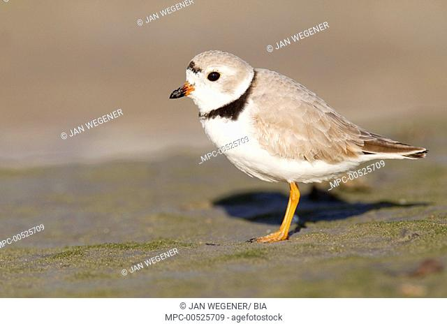 Piping Plover (Charadrius melodus), Florida