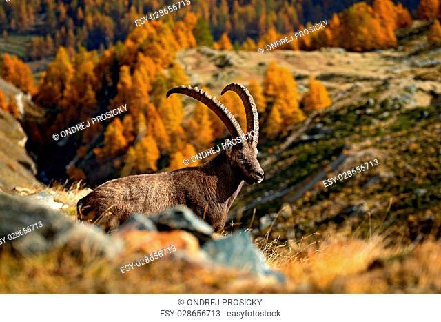 Sitting antler Alpine Ibex, Capra ibex ibex