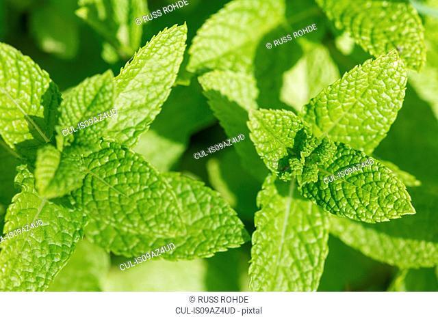 Mint leaves on mint plant