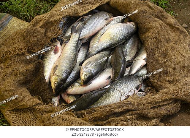 Fresh fish on sale at rural market, Titamba Village, Dharni Taluka, Amravati District, Maharashtra, India