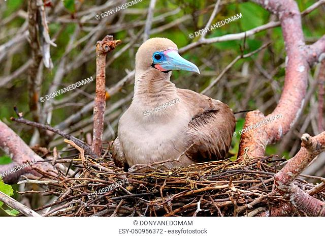 Red-footed booby (Sula sula) sitting on a nest, Genovesa island, Galapagos National Park, Ecuador