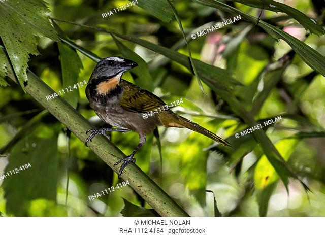 An adult greyish saltator, Saltator coerulescens, Casa Orqu+?deas Botanical Gardens, Golfo Dulce, Costa Rica, Central America