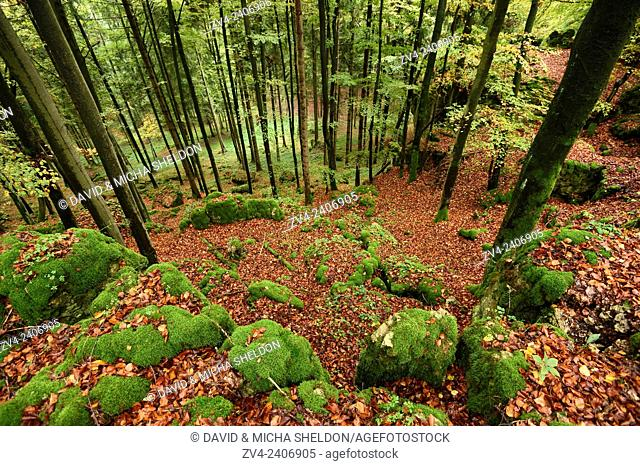 Landscape of a European beech or common beech (Fagus sylvatica) forest in autumn