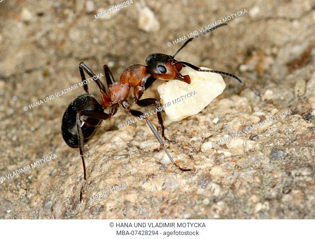 Worker ant of European Red Wood Ant (Formica polyctena) move stone to anthill