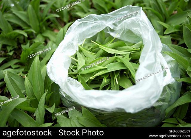 Fresh ramsons (wild garlic) leaves in a plastic bag
