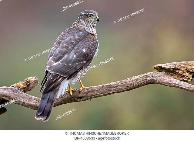 Eurasian sparrowhawk (Accipiter nisus), female on branch, Central Elbe Biosphere Reserve, Saxony-Anhalt, Germany