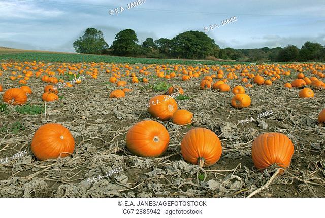 Pumpkins ready for Harvest Norfolk October