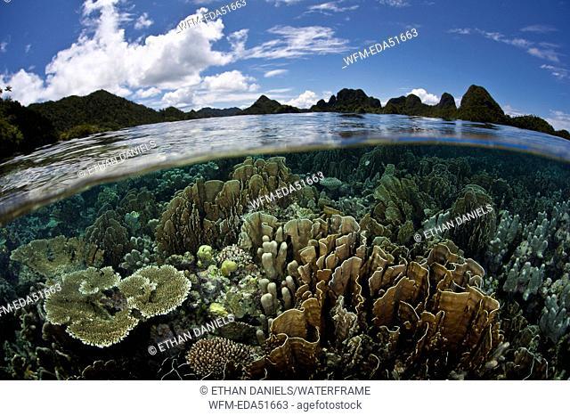 Reef-building Corals on Reef Top, Montipora sp., Raja Ampat, West Papua, Indonesia
